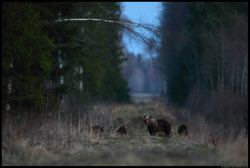 Pruunkaru, Brown Bear, Ursus arctos Remo Savisaar Eesti loodus Estonian Estonia Baltic nature wildlife photography photo blog loodusfotod loodusfoto looduspilt looduspildid landscape nature wild wildlife nordic