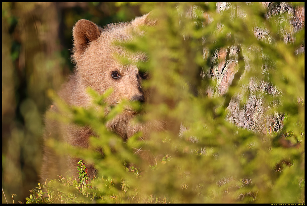 Pruunkaru, Brown Bear, Ursus arctos loomalaps Remo Savisaar Eesti loodus Estonian Estonia Baltic nature wildlife photography photo blog loodusfotod loodusfoto looduspilt looduspildid landscape nature wild wildlife nordic