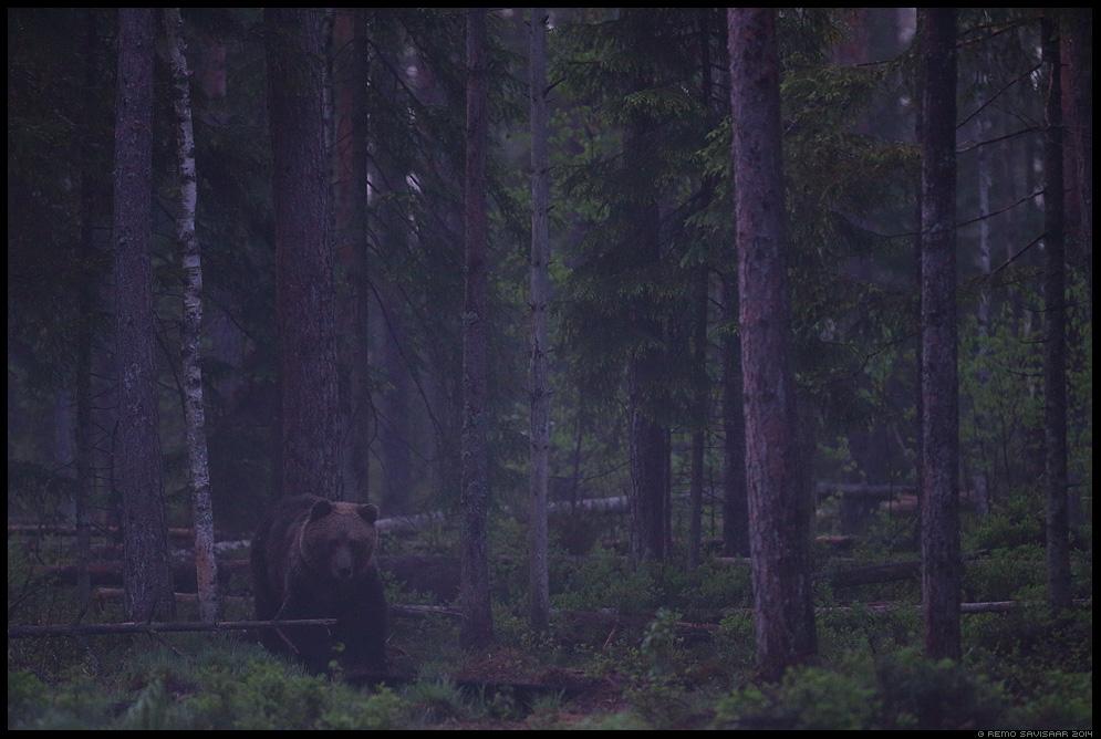 Pruunkaru, Brown Bear, Ursus arctos Alutaguse rahvuspark, Alutaguse National Park  Remo Savisaar Eesti loodus  Estonian Estonia Baltic nature wildlife photography photo blog loodusfotod loodusfoto looduspilt looduspildid