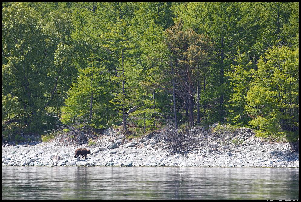 Pruunkaru, Brown Bear, Ursus arctos  Baikal lake, Siberia, Russia Remo Savisaar nature wildlife photography photo blog loodusfotod loodusfoto looduspilt looduspildid