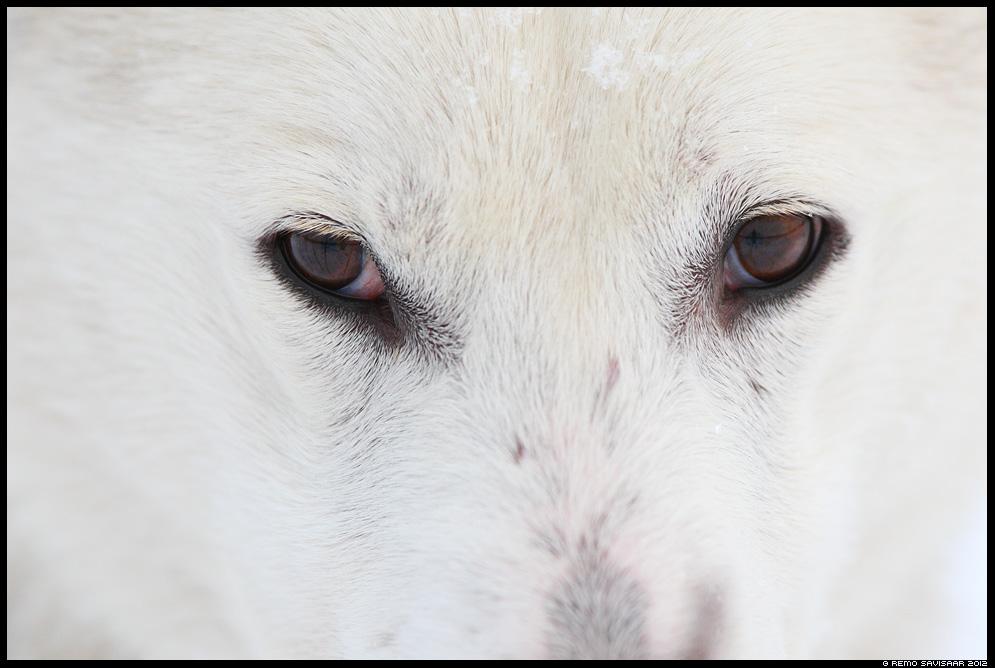 Lääne-siberi laika, Pehme, Soft, koer, dog, white, valge