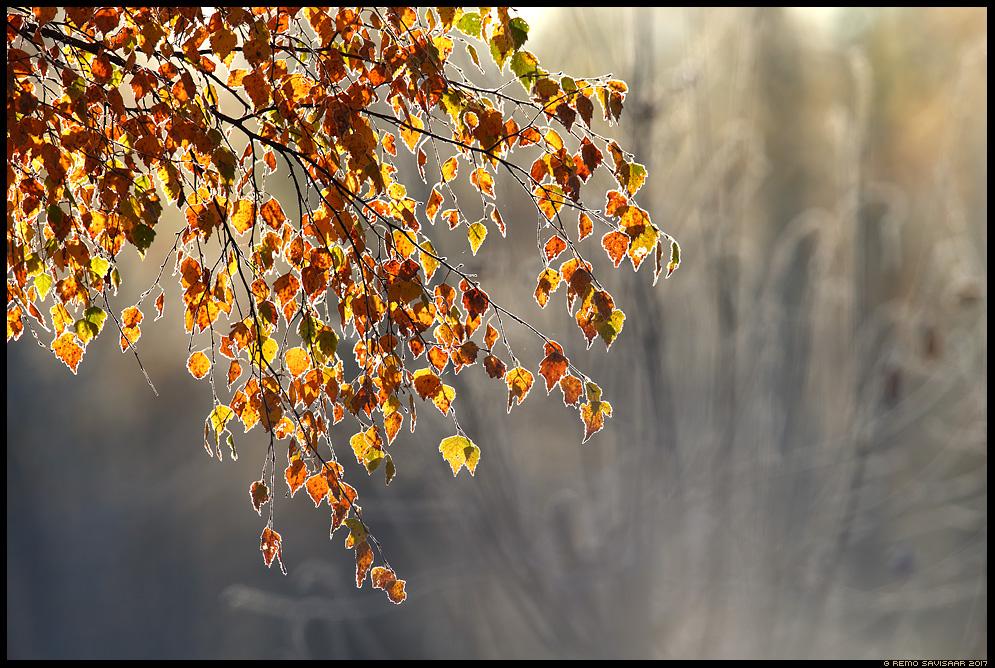 Värvilised, Colorful härmatis frost kask kaselehed birch Remo Savisaar Eesti loodus  Estonian Estonia Baltic nature wildlife photography photo blog loodusfotod loodusfoto looduspilt looduspildid