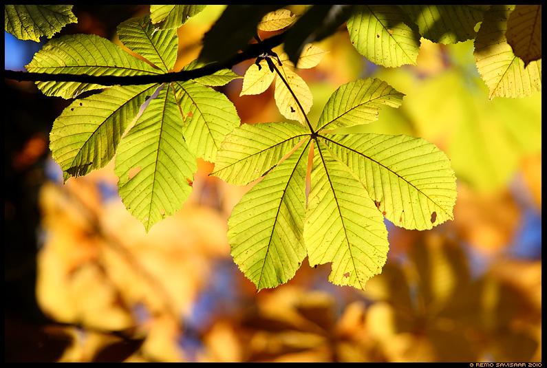 Sügiskuld, Autumn Gold, kastan, kastanilehed, Harilik hobukastan, Horse Chestnut leaves, Aesculus hippocastanum, sügis, autumn