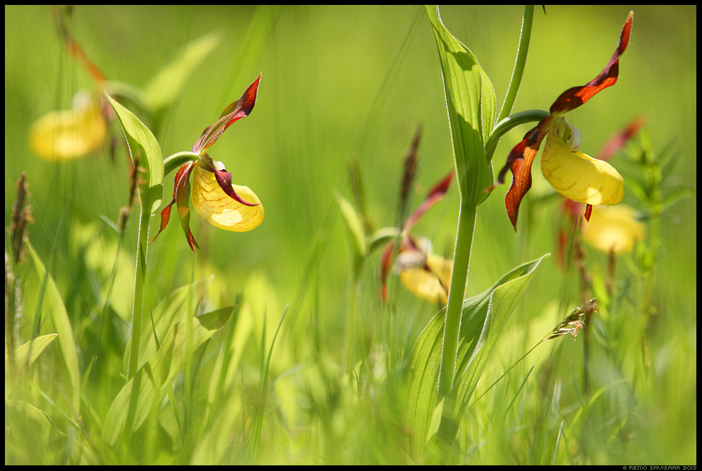 Kaunis kuldking, Lady's Slipper Orchid, Cypripedium calceolus Remo Savisaar Eesti loodus  Estonian Estonia Baltic nature wildlife photography photo blog loodusfotod loodusfoto looduspilt looduspildid
