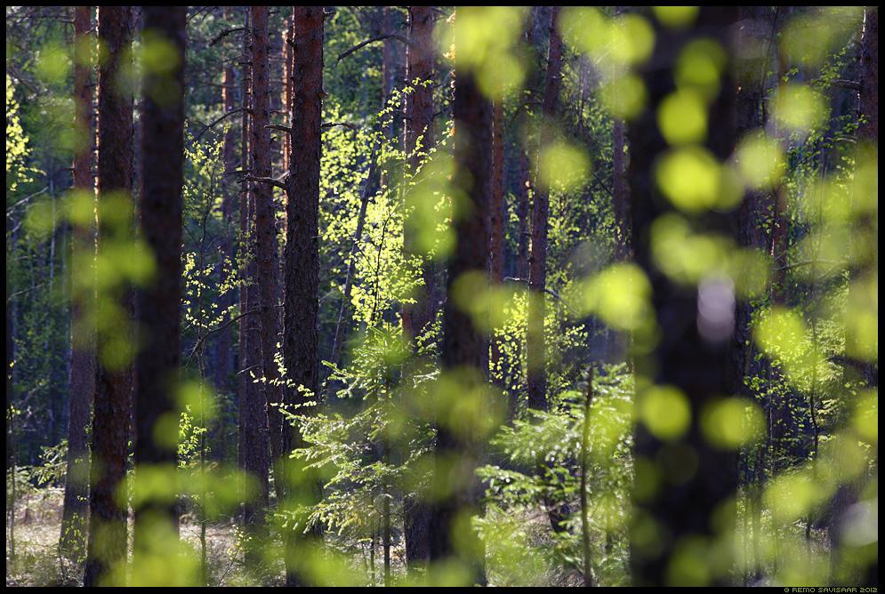 Kevade rohelus, Spring greenery, kevad metsas, mets, hiirekõrvus lehed, sillerdus, mets, forest