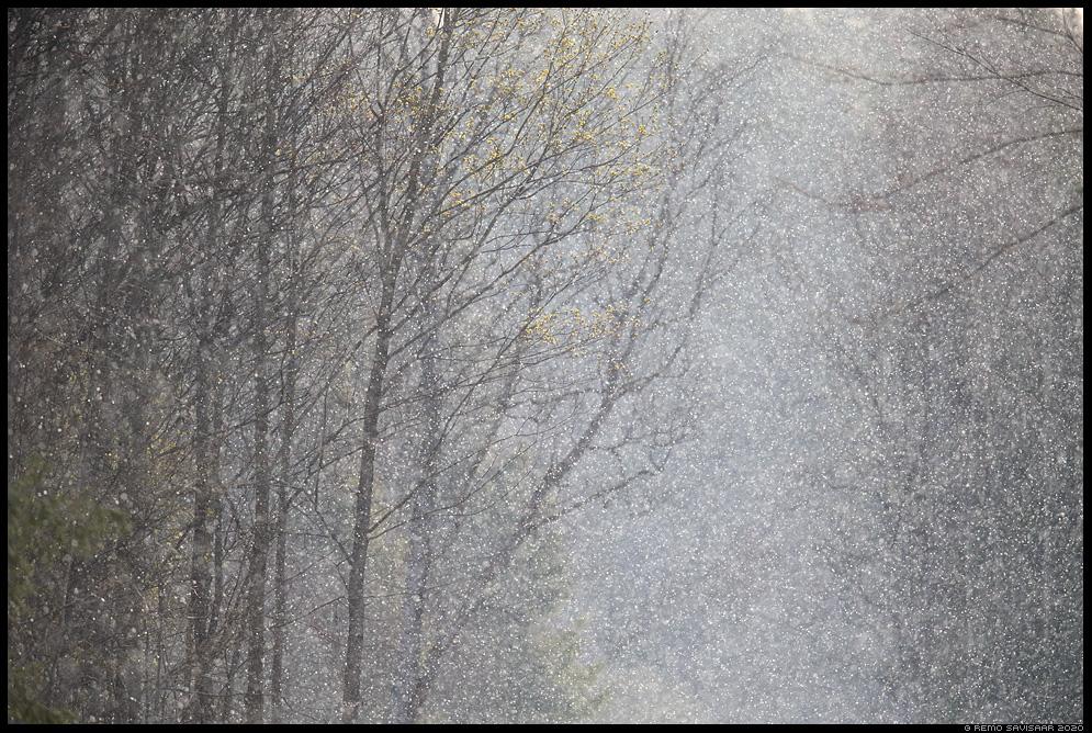 kevadine lumesadu spring snowfall Remo Savisaar Eesti loodus Estonian Estonia Baltic nature wildlife photography photo blog loodusfotod loodusfoto looduspilt looduspildid landscape nature wild wildlife nordic