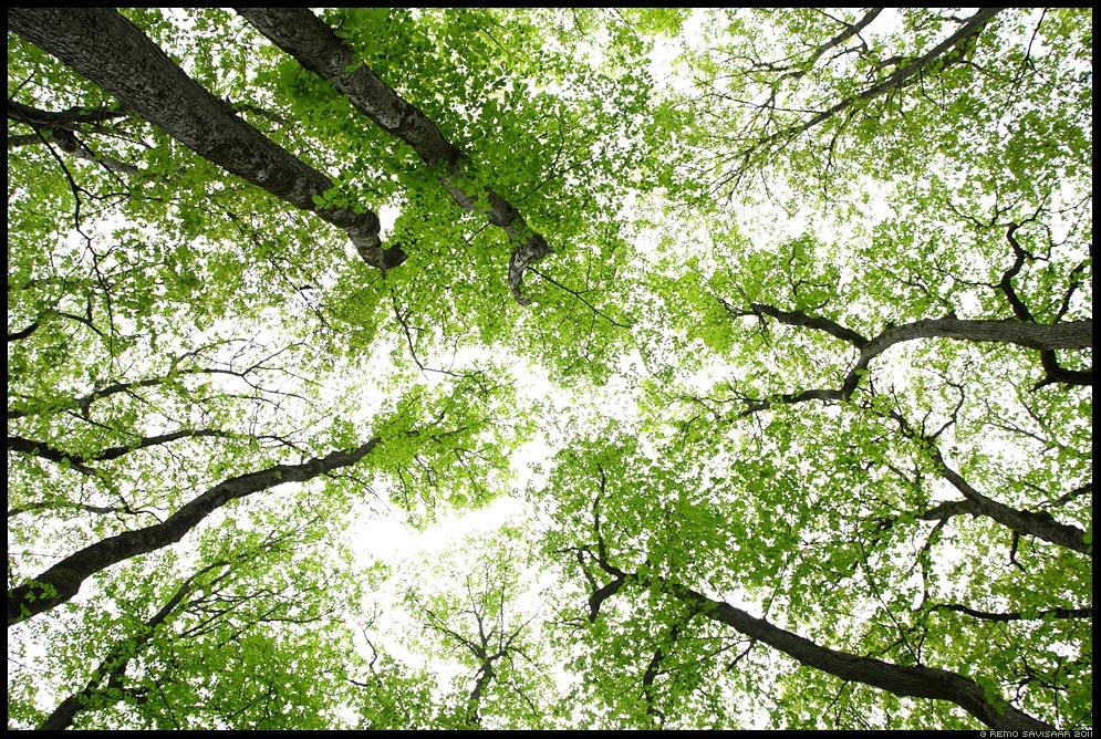 Kevade rohelus, Spring Greenery, The Greenery of Spring, puud, kevad, graafika, graafiline, trees, spring, graphic, värskus, rohelus, mai, may, maikuu, tüved
