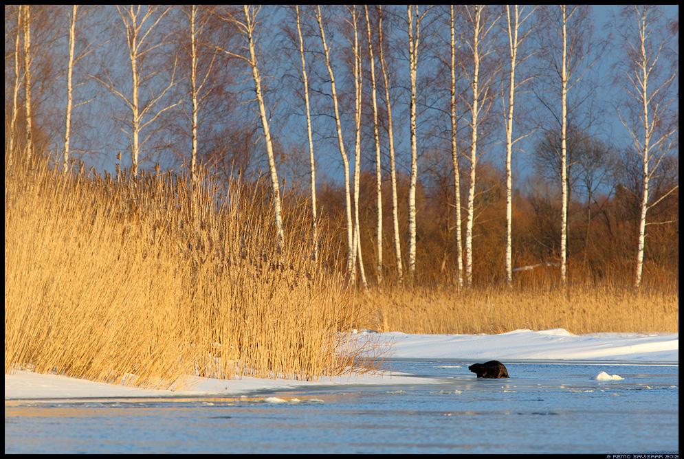 Kobras, European beaver, Castor fiber, jõgi, river, sula, keskkond, habitat, environment, pilliroog, elupaik, elukoht