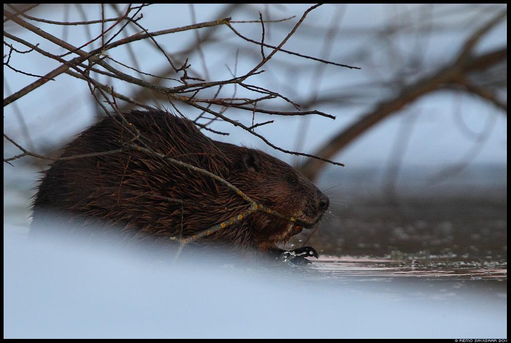Kobras, European beaver, Castor fiber, märts, march, pime, hämar, õhtu, gloomy, dark