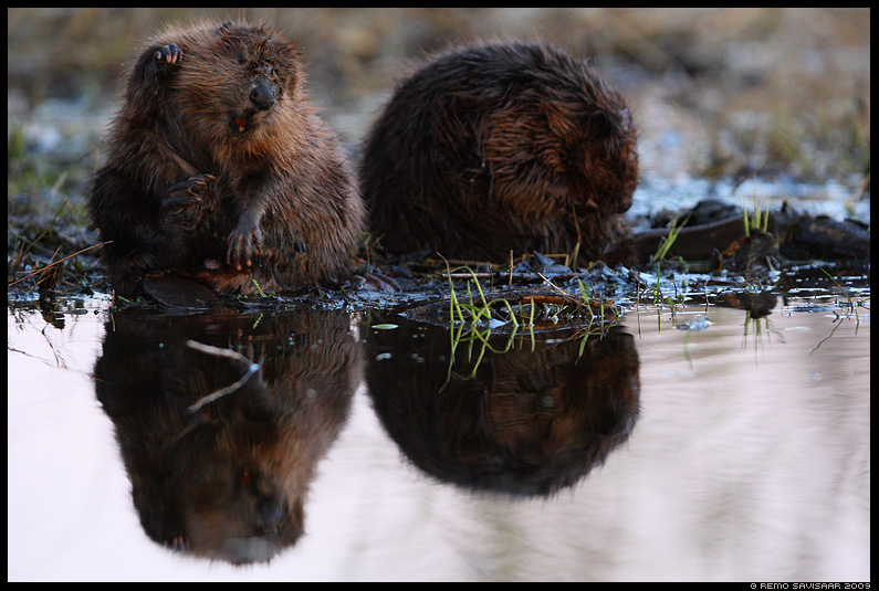 Kobras, European beaver, Castor fiber