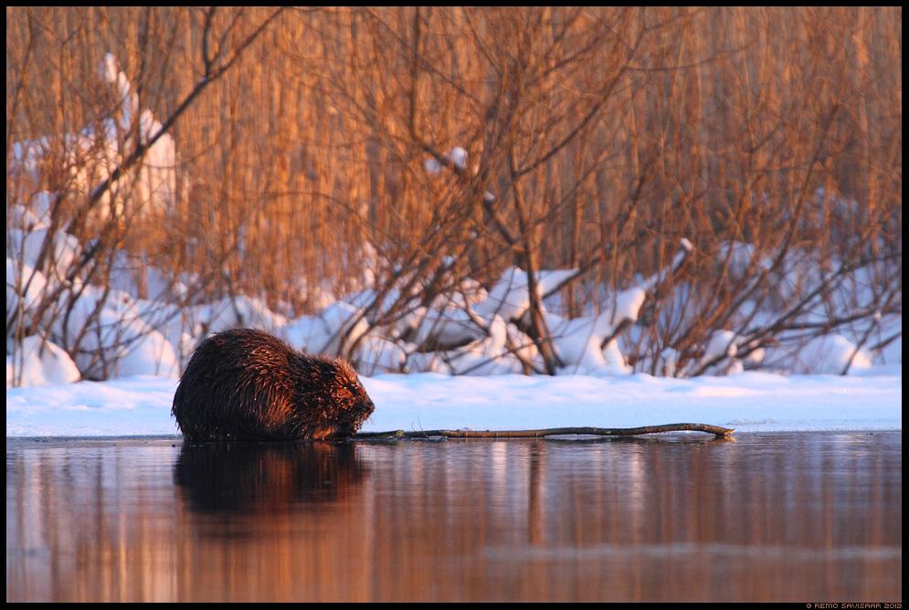 Kobras, European beaver, Castor fiber