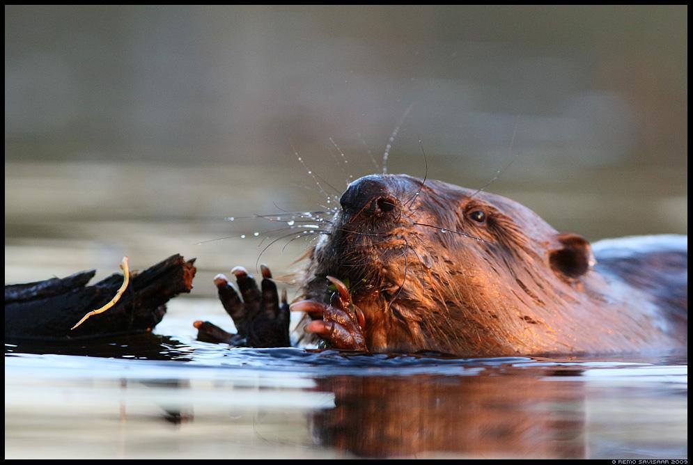 Kobras, European beaver, Castor fiber portree portrait Remo Savisaar Eesti loodus Estonian Estonia Baltic nature wildlife photography photo blog loodusfotod loodusfoto looduspilt looduspildid