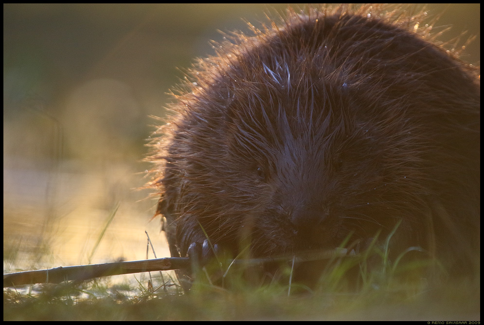 Kobras, European beaver, Castor fiber vesi jõgi jää river ice Remo Savisaar Eesti loodus Estonian Estonia Baltic nature wildlife photography photo blog loodusfotod loodusfoto looduspilt looduspildid landscape nature wild wildlife nordic