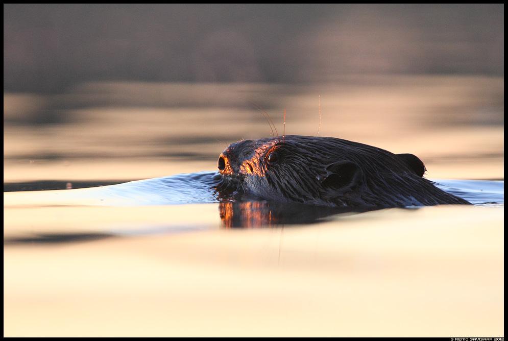 Kobras, European beaver, Castor fiber, poolveeline, kober, piiber