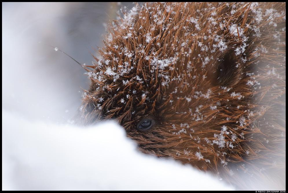 Kobras, European beaver, Castor fiber portree portrait lumehelves snowflake lumi snow Remo Savisaar Eesti loodus Estonian Estonia Baltic nature wildlife photography photo blog loodusfotod loodusfoto looduspilt looduspildid