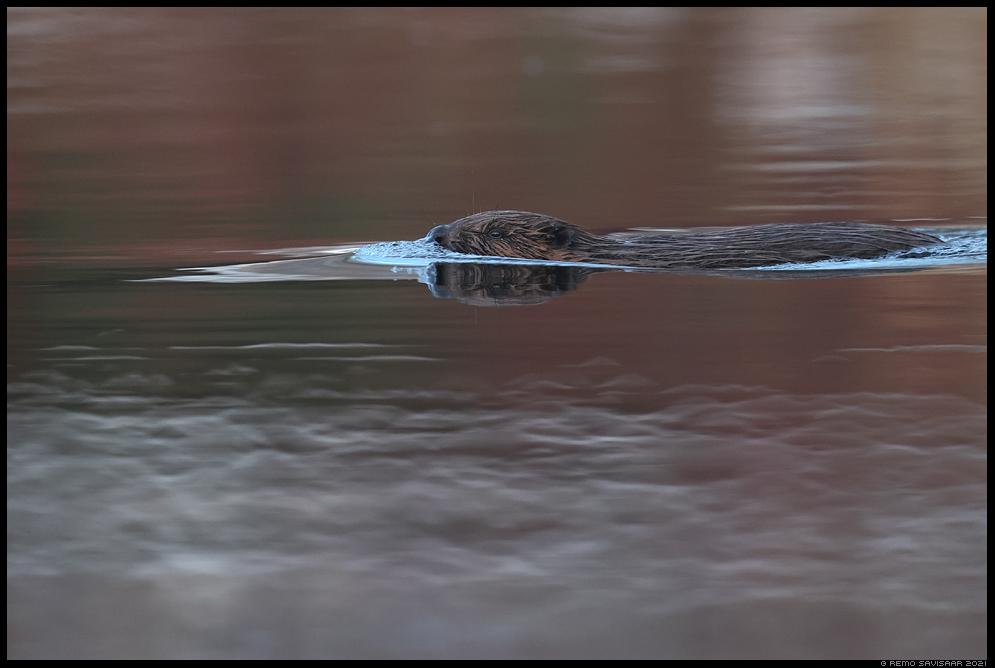 Kobras, European beaver, Castor fiber vesi jõgi river Remo Savisaar Eesti loodus Estonian Estonia Baltic nature wildlife photography photo blog loodusfotod loodusfoto looduspilt looduspildid landscape nature wild wildlife nordic