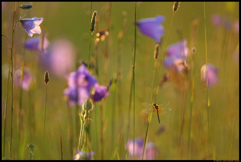 Kollatähn-loigukiil, Yellow-winged Darter, Sympetrum flaveolum, kollane loigukiil, Dragonfly, Suvevärvid, Colours of Summer, suveõhtu, heinamaa, kellukad, kiil