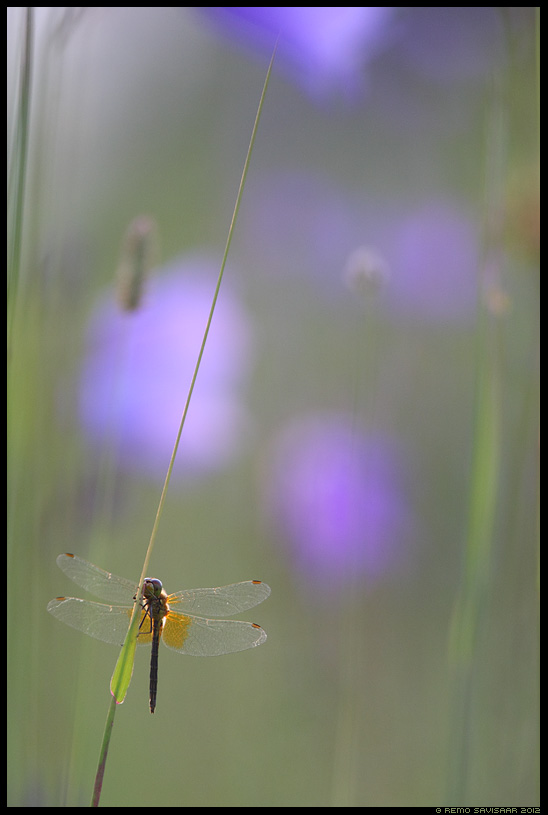 Kollatähn-loigukiil, Yellow-winged Darter, Sympetrum flaveolum, kollane loigukiil, Dragonfly