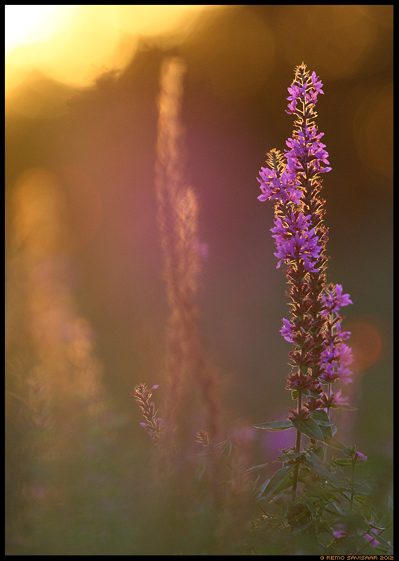 Kukesaba, Purple Loosestrife, Lythrum salicaria  Remo Savisaar Eesti loodus Estonian Estonia Baltic nature wildlife photography photo blog loodusfotod loodusfoto looduspilt looduspildid