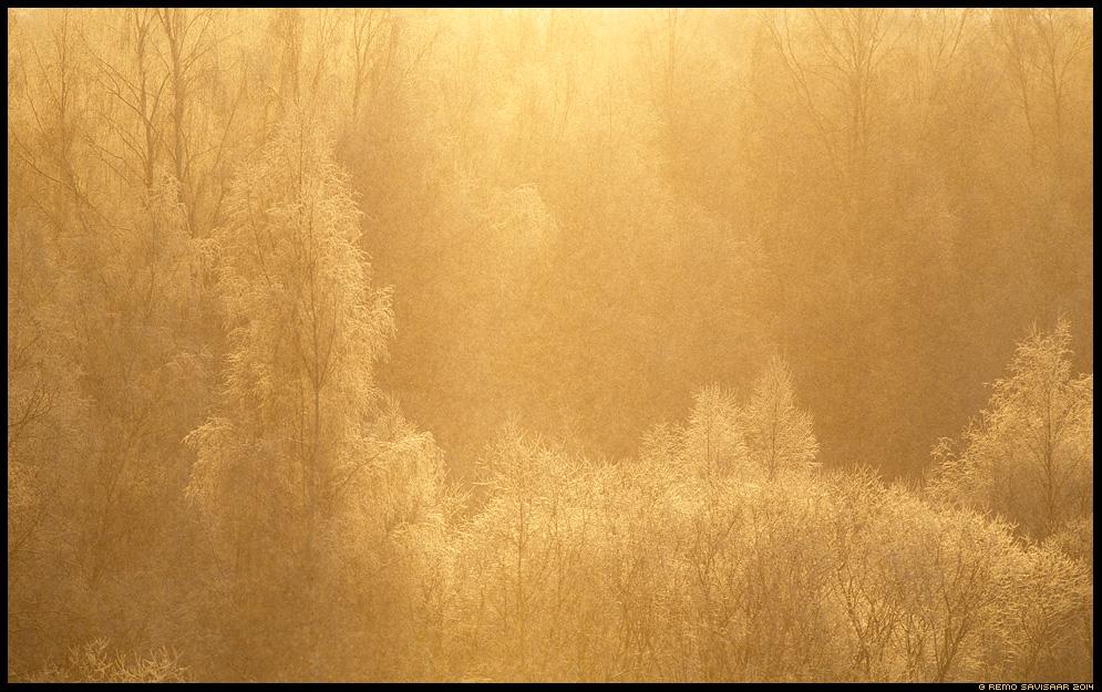 Kullatud härmatis, Gilded frost talv talvine puud trees forest mets metsane kased kask kaasik Remo Savisaar Eesti loodus  Estonian Estonia Baltic nature wildlife photography photo blog loodusfotod loodusfoto looduspilt looduspildid