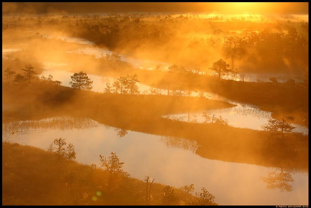 Kuldne päikesetõus, Golden sunrise raba bog swamp mist misty fog foggy morning hommik männid mänd pinus scots pine Remo Savisaar Eesti loodus Estonian Estonia Baltic nature wildlife photography photo blog loodusfotod loodusfoto looduspilt looduspildid