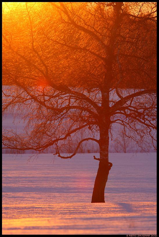 Kuldpuu, Golden Tree, päikeseloojang, sunset, kask, kasepuu, birch tree, talv, sära