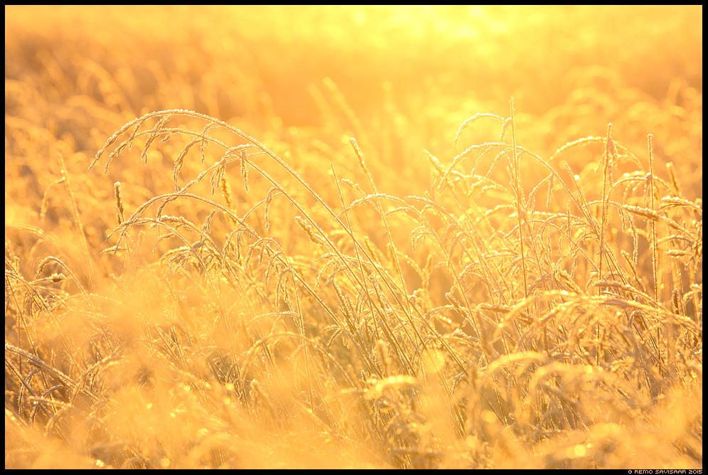 kõrred heinamaa kuldne härmatis päikesetõus hommik sunrise frost frosty Remo Savisaar Eesti loodus  Estonian Estonia Baltic nature wildlife photography photo blog loodusfotod loodusfoto looduspilt looduspildid