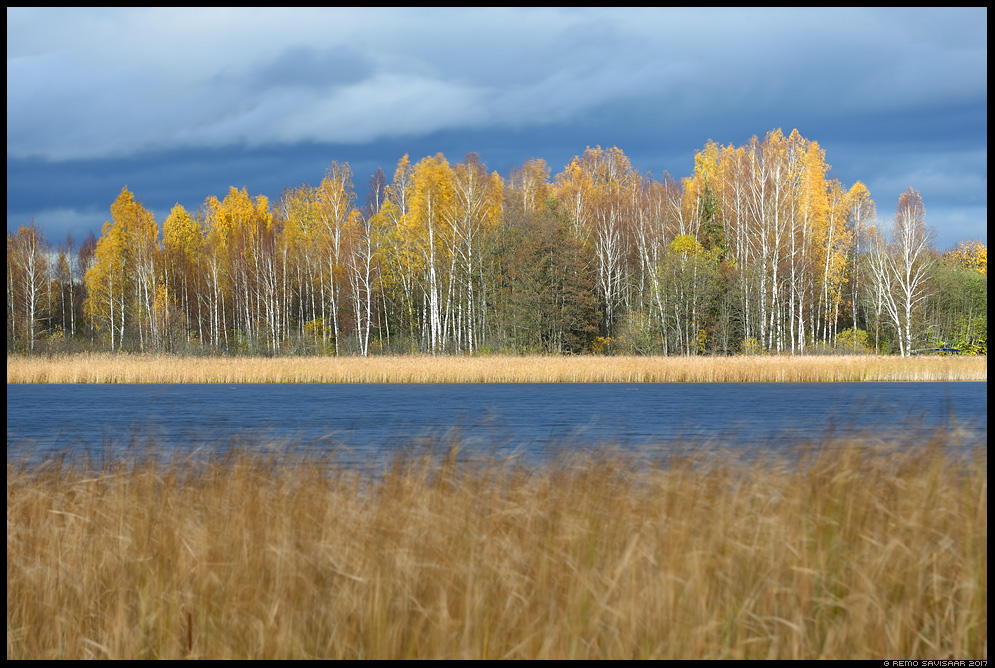 Tuuline sügis, Windy autumn kask kased birch saadjärv Remo Savisaar Eesti loodus  Estonian Estonia Baltic nature wildlife photography photo blog loodusfotod loodusfoto looduspilt looduspildid