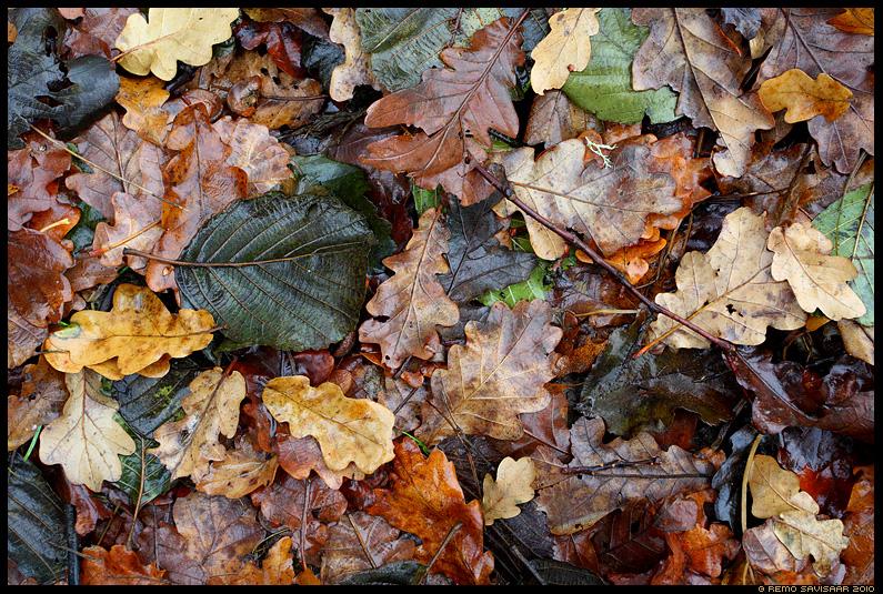 leht, leaf, lehed, leaves, värvilised, värvid, tammelehed, märg, vihm, wet, sügis, autumn