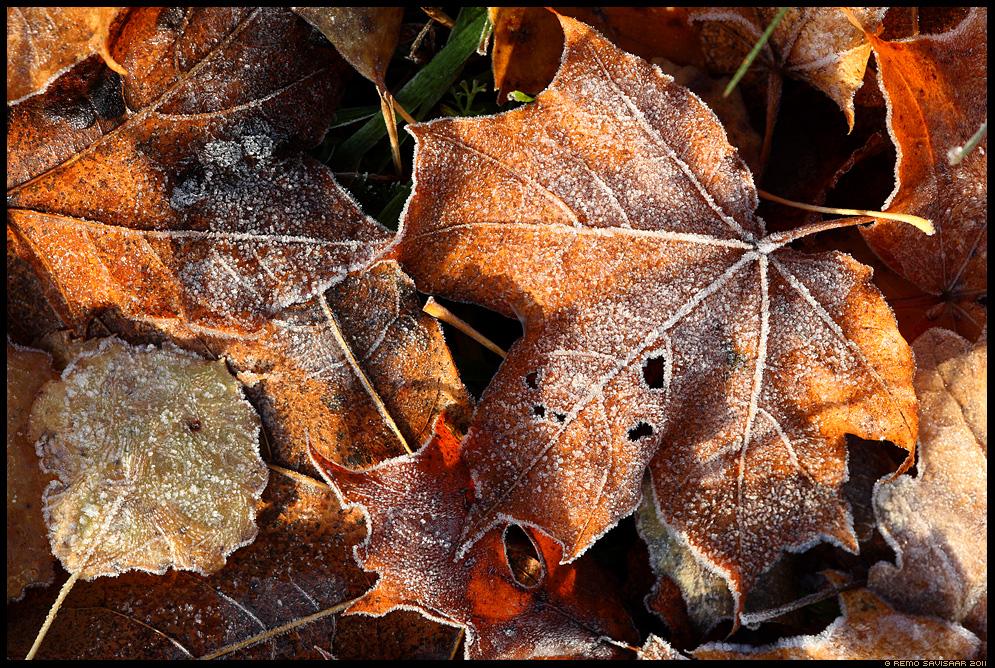 sügis, autumn, fall, puulehed, härmatis, frost, frozen, öökülm, suhkur, sugar, jahe, freezing, freeze, leaf