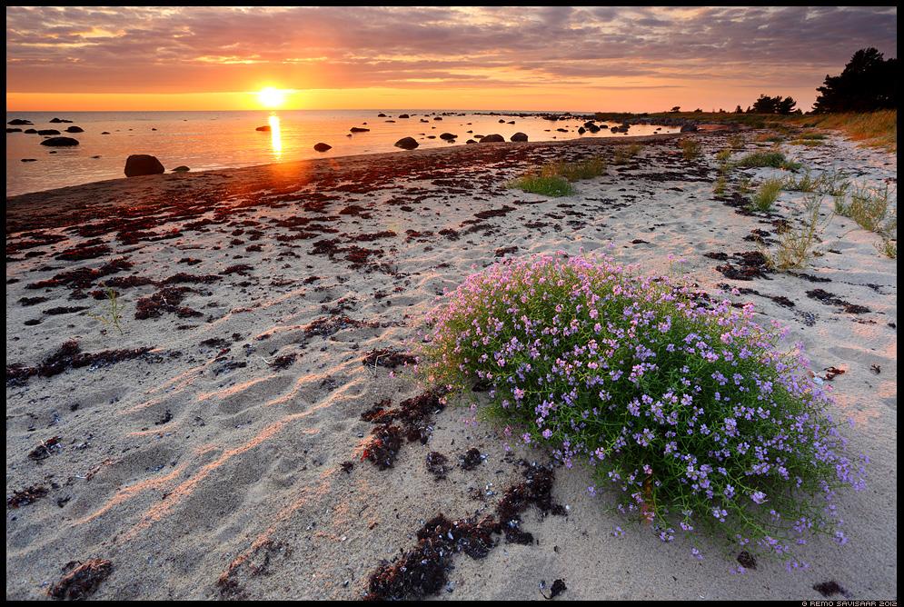 Liiv-merisinep, Searocket, Cakile maritima, meri, läänemeri, baltic sea, hiiumaa