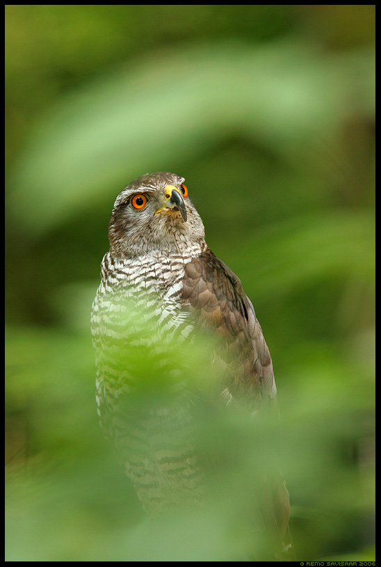 Kanakull, Goshawk, Accipiter gentilis Remo Savisaar Eesti loodus Estonian Estonia Baltic nature wildlife photography photo blog loodusfotod loodusfoto looduspilt looduspildid landscape nature wild wildlife nordic
