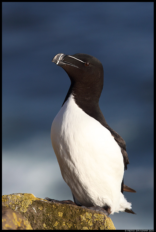 Island, Iceland, Alk, Razorbill, Alca torda