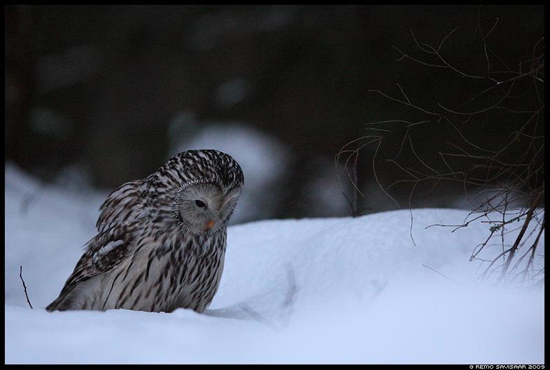 HHändkakk, Ural Owl, Strix uralensis, talv, lumi