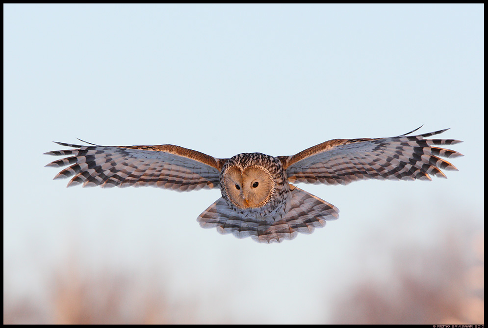 Hndkakk, Ural Owl, Strix uralensis, lend, lennus, in flight, bird of prey, kull