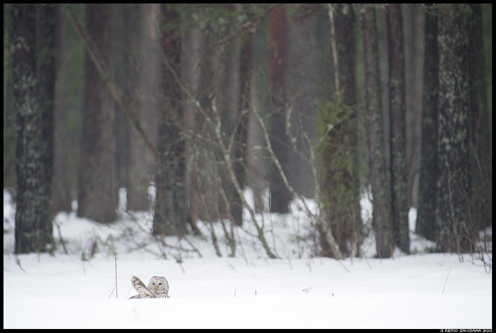 Händkakk, Ural Owl, Strix uralensis portree portrait mets forest hunting Remo Savisaar Eesti loodus Estonian Estonia Baltic nature wildlife photography photo blog loodusfotod loodusfoto looduspilt looduspildid