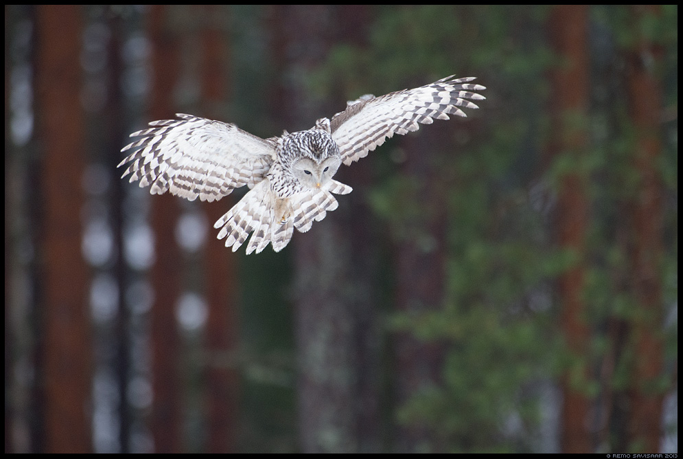 Händkakk, Ural Owl, Strix uralensis jaht action Remo Savisaar Eesti loodus Estonian Estonia Baltic nature wildlife photography photo blog loodusfotod loodusfoto looduspilt looduspildid