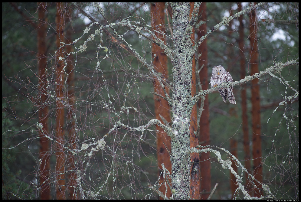 Händkakk, Ural Owl, Strix uralensis portree portrait Remo Savisaar Eesti loodus Estonian Estonia Baltic nature wildlife photography photo blog loodusfotod loodusfoto looduspilt looduspildid