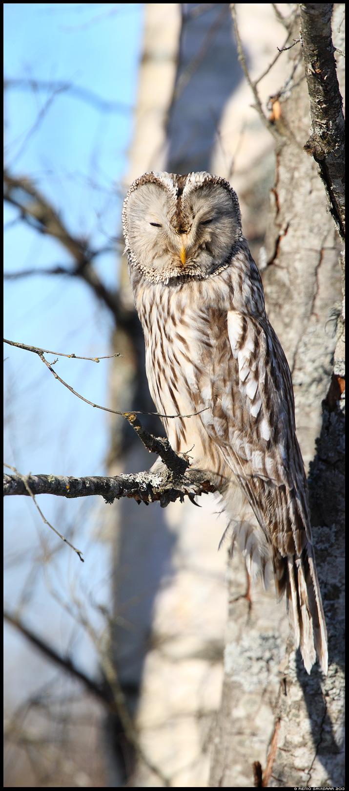 Händkakk, Ural Owl, Strix uralensis portree portrait Remo Savisaar Eesti loodus Estonian Estonia Baltic nature wildlife photography photo blog loodusfotod loodusfoto looduspilt looduspildid