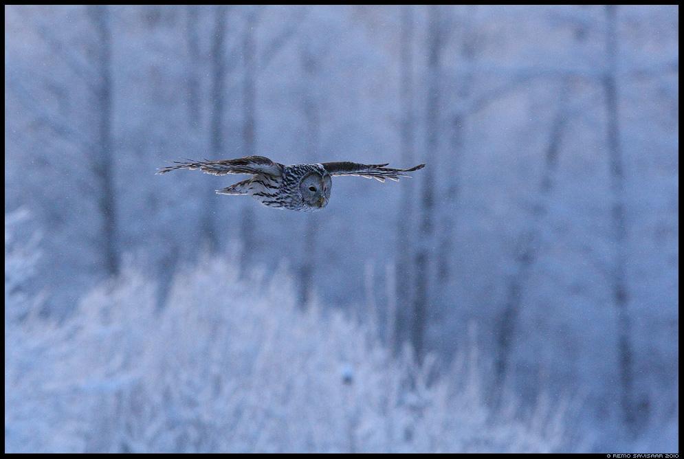 Händkakk, Ural Owl, Strix uralensis, talv, winter, lumi, lumine, snowy, lumesadu, õhtu, hämar