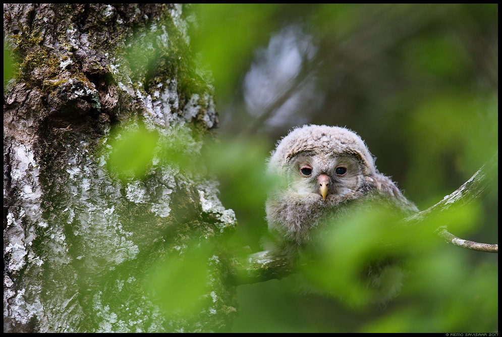 Händkakk, Ural Owl, Strix uralensis  Remo Savisaar Eesti loodus Estonian Estonia Baltic nature wildlife photography photo blog loodusfotod loodusfoto looduspilt looduspildid landscape nature wild wildlife nordic