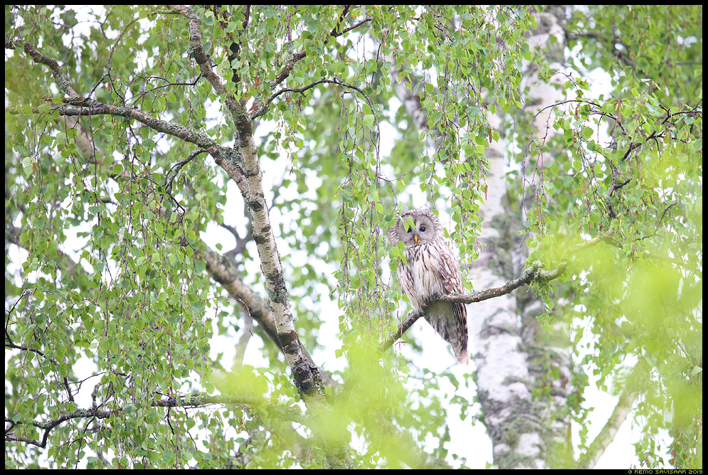 Händkakk, Ural Owl, Strix uralensis kask birch kasepuu kaasik Remo Savisaar Eesti loodus Estonian Estonia Baltic nature wildlife photography photo blog loodusfotod loodusfoto looduspilt looduspildid