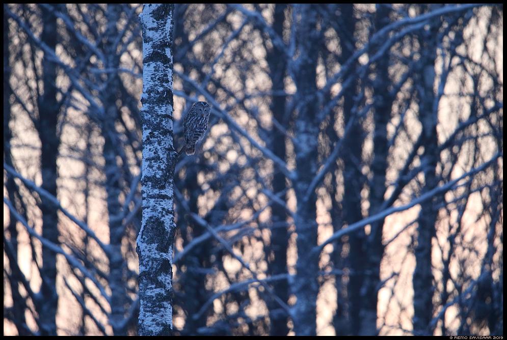 Händkakk, Ural Owl, Strix uralensis  Remo Savisaar Eesti loodus Estonian Estonia Baltic nature wildlife photography photo blog loodusfotod loodusfoto looduspilt looduspildid landscape nature wild wildlife nordic