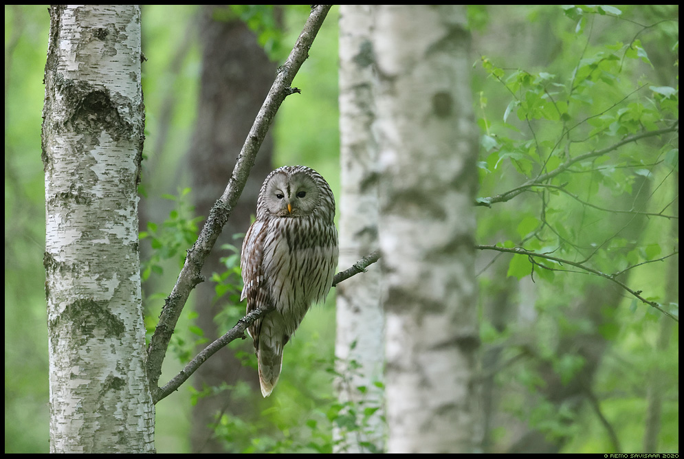 Händkakk, Ural Owl, Strix uralensis kaasik kased mets forest Remo Savisaar Eesti loodus Estonian Estonia Baltic nature wildlife photography photo blog loodusfotod loodusfoto looduspilt looduspildid