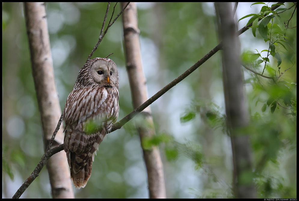 Händkakk, Ural Owl, Strix uralensis Remo Savisaar Eesti loodus  Estonian Estonia Baltic nature wildlife photography photo blog loodusfotod loodusfoto looduspilt looduspildid