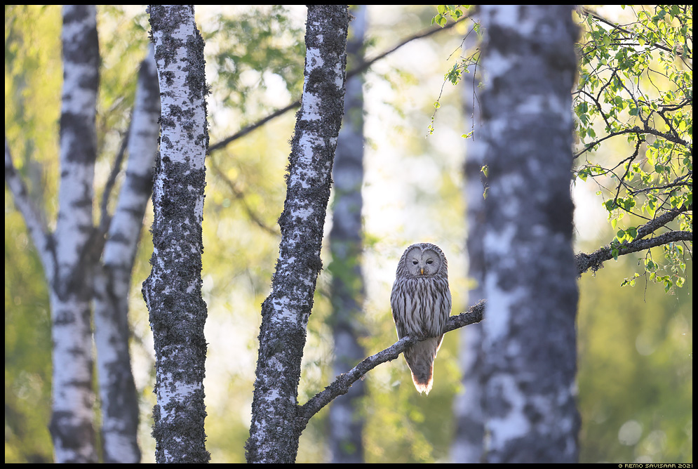 Händkakk, Ural Owl, Strix uralensis auhinnatud awarded fotokonkurss winner Remo Savisaar Eesti loodus  Estonian Estonia Baltic nature wildlife photography photo blog loodusfotod loodusfoto looduspilt looduspildid