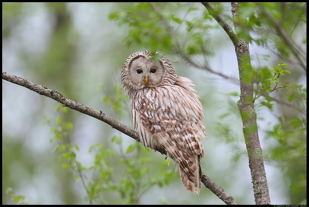 Händkakk, Ural Owl, Strix uralensis Remo Savisaar Eesti loodus  Estonian Estonia Baltic nature wildlife photography photo blog loodusfotod loodusfoto looduspilt looduspildid