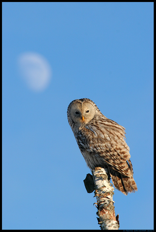 Händkakk, Ural Owl, Strix uralensis, kuu, moon