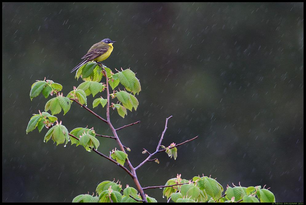 Hänilane, Yellow Wagtail, Motacilla flava, vihm, vihmas, vihmasadu, raining, jalakas, Künnapuu, Ulmus glabra, kevad, spring, mai, maikuu, may