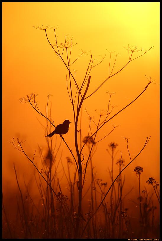 Leegitsev roostik, Flaming reeds Hänilane, Yellow Wagtail, Motacilla flava läänemaa haapsalu  Remo Savisaar Eesti loodus Estonian Estonia Baltic nature wildlife photography photo blog loodusfotod loodusfoto looduspilt looduspildid landscape nature wild wildlife nordic